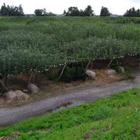 梨畑の様子
